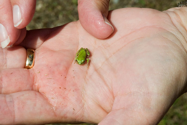At the Cape Hatteras Lighthouse, my famous hand model (Diana) picked up one of the tiny green frogs that were hopping around in the grass.  I think it is a type of tree frog but would welcome a positive ID if you know what it is.