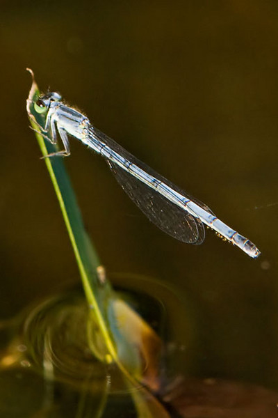 Here's a female Eastern Forktail; you will notice she looks quite different from the male.  She is powdery blue all over.  Just to make things even more confusing, the juvenile female is orange and black.