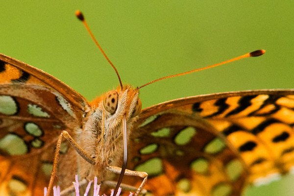 I included this close-up so you can see the interesting eye pattern of this butterfly.  Also, note the long proboscis which has been uncoiled in order to sip nectar from the flower.