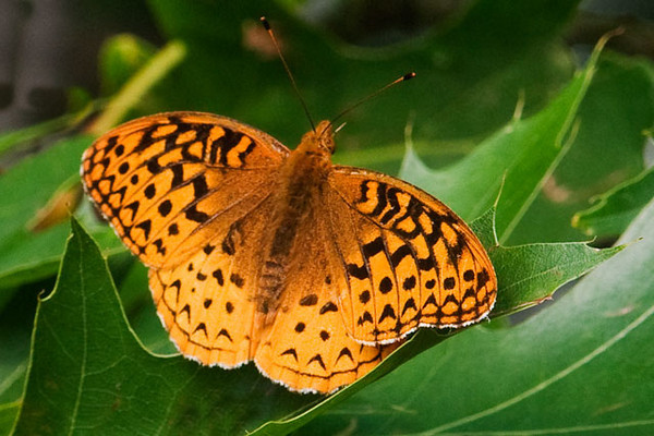 At our lake home in northern Minnesota, one of the active butterflies at this time of the year is the Great Spangled Fritillary.  This one landed in an oak tree in our yard.  It is a common species, found in open areas over much of North America.