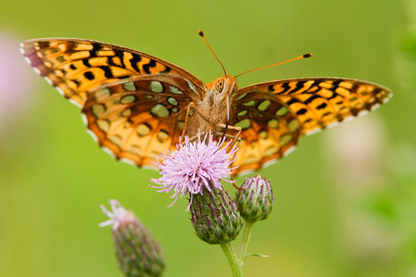 This is a front view of a Great Spangled Fritillary.  Notice that the pattern on the undersides of the wings is different from the pattern on the upper sides in the previous photo.  The spots, which are actually silvery in color, look green in this photo because of the reflection from the grass below.