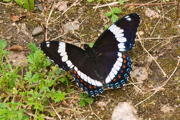 "This striking butterfly is a White Admiral.  Butterflies are often seen on an area of wet ground like this one. Such behavior, called ""puddling"", allows them to ingest essential minerals."