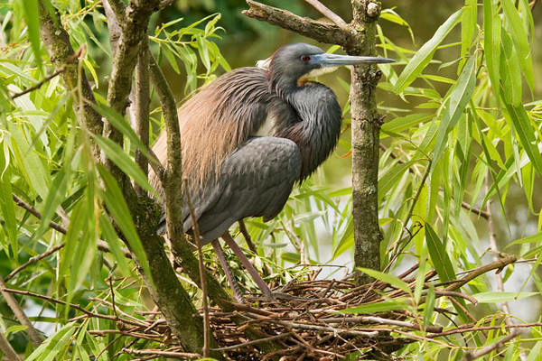 Here's one of the Tricolored Herons at its nest.  The nest is a fairly loose structure of sticks and it has a lining of small twigs and grass.  The male brings sticks and the female works them into the nest.