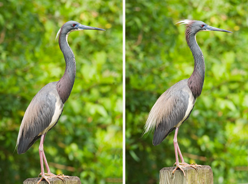 I was fortunate to capture this bird in a relaxed position (left photo) and in an aggressive display (right photo).  Notice how the plumes on the head, neck, and back are raised in the right photo.