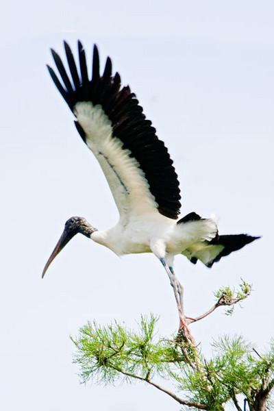 Wood Storks are one of the largest birds in North America and our only stork species.  They are found in the southeastern United States, mostly in Florida.  At Gatorland, near Kissimmee, Florida, there are Wood Storks nesting in the trees that surround the Alligator pool.