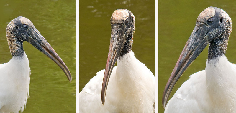 """I put this composite photo together to give you a close look at the bare head and huge bill of an adult Wood Stork.  The bill is very thick at the base and tapers to a slight droop at the tip.  It is very sensitive and allows the Wood Stork to feed by touch in murky water.  A favorite place for them to feed is a shallow pond that is drying up.  That concentrates the small fish and other pond inhabitants and makes for efficient feeding.  I haven't seen any explanation for the scaly-looking featherless head.  (I did hear an explanation from Jim Stevenson, a friend of mine who live in Texas.  He said """"Same as spoonbills, and the same principle as vultures. They stick their heads on murky water and don't """"want"""" to get their feathers stuck with crud in the water.""""  Thanks, Jim.)"""