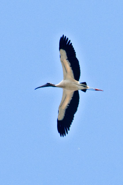 Wood Storks are graceful in the air.  With their large wings extended, they are able to use air currents to soar, sometimes to great heights.  They fly with their legs and neck extended.