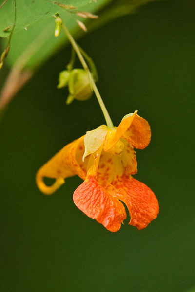 "Jewelweed, or Spotted Touch-me-not, produces a small orange flower that reminds me of an orchid, although a better description would be a horn-of-plenty.  The nectar is deep inside the flower so hummingbirds are one of the few pollinators able to reach it.  Many American Indian tribes knew that if they got a rash from poison ivy or stinging nettles, they could rub their skin with jewelweed leaves to get instant relief.  The name ""touch-me-not"" comes from the method used by this plant to disburse its seeds.  The seed pods build up pressure inside them and explode at the slightest touch.  Seeds can be hurled up to 5 feet away by this action.  This photo was taken at our home in northern Minnesota."