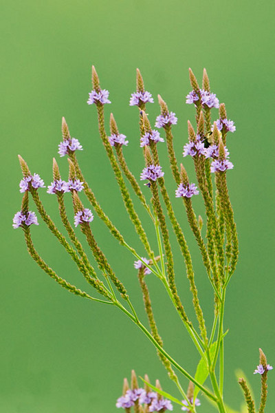 This Blue Vervain was also growing at Trout Lake in Bovey, MN.  Each of these thin green stems is a flower stalk.  It looks like each flower stalk has only a few purple flowers growing around the middle.  Actually, the flowers at the bottom of the stalk open first.  The flowering proceeds up the stalk as the lower flowers go to seed.  This is a very ingenious adaptation because the plant is exposing its flowers to pollinators over a long period of time.  This gives it the maximum chance to be fertilized.