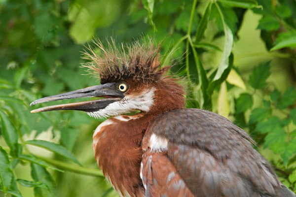 "If you've ever had a ""bad hair day"" you can sympathize with this bird."