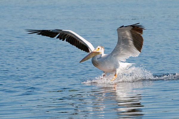White Pelicans are one of our largest water birds.  They have a wingspan of 9 feet.