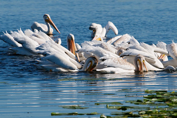 White Pelicans don't dive into the water to catch fish like the Brown Pelicans do.  They tend to feed cooperatively, herding fish into a circle or into shallow water and then dipping their large bills into the water to scoop up the fish.  Note the birds with brown-tipped feathers on their backs.  Those are juveniles.