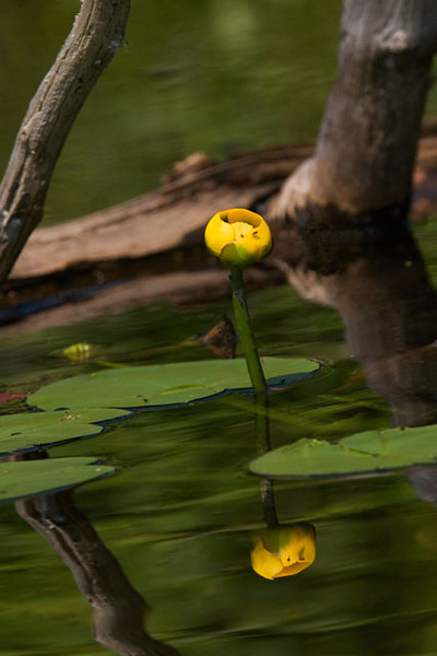 Yellow Water Lilies bloom earlier than the white ones but there are still some around at this time of the year.  As you can see in this photo, their flowers are much less showy; this is as far as they open up.