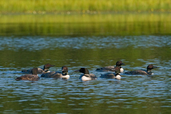 The pair of Common Loons that nest on our lake are very territorial.  They chase away any other loons that show up during the nesting season.  Now that their baby has hatched and is getting larger, the resident loons are much more relaxed.  We often have other loons visiting the lake, usually in the morning.  These might be birds whose nesting attempts have failed and they don't have parenting duties, or they might just like fishing on our lake.  Here is a group of seven adults that were peacefully co-existing one recent morning.