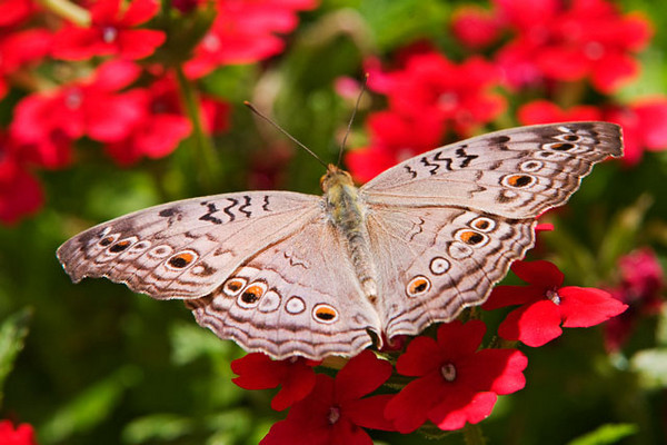 Here's another unidentified butterfly.  Note the beautiful flowers which gave a really spectacular background for photos.