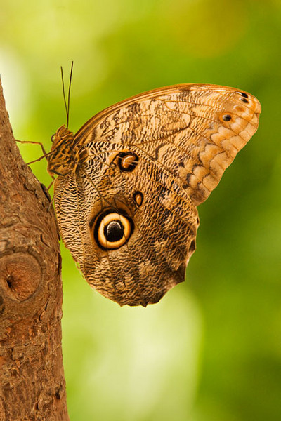 "This is an Owl Butterfly, probably named for the big ""eye spot"" on the hind wing."