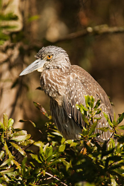 Here is a juvenile Yellow-crowned Night-Heron.  It keeps the mottled brown plumage throughout its first year.
