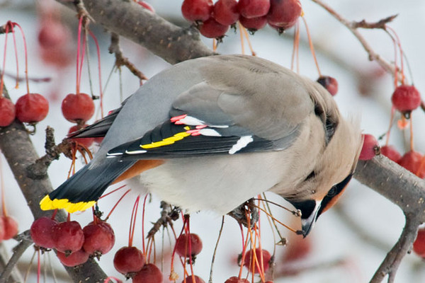 This photo gives you a good view of the red and yellow tips of the wing feathers.  They look like drops of wax; hence, the name Waxwing.  Also note the yellow tips of the tail feathers.  You can see the orange undertail feathers (called undertail coverts) which are a good field mark for this species.