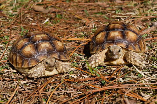 "One of our favorite places to visit while we are in Florida is the Gulf Specimen Lab in Panacea.  They always have interesting ""critters"" to see.  Most of their specimens are locally caught.  This time, however, they also had two baby African Sulcata Tortoises.  When they are full grown (2 ½ feet long and 80-110 pounds), they are the third largest tortoises in the world.  They are only surpassed by the giant tortoises on the Galapagos Islands."
