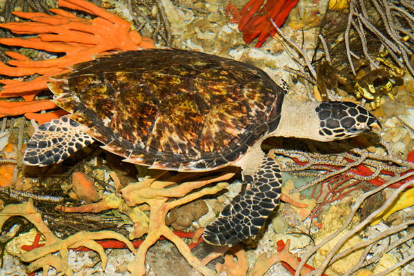 The other endangered sea turtle at the Lab is a Hawksbill Turtle.  This species is even more endangered than the Loggerhead.  In this photo you can see the sharp beak which gives the turtle its name.  Another characteristic of the Hawksbill is the sharp, serrated edges of the shell.  They grow to a length of just over 3 feet and average about 175 pounds.  They live part of their life in the open ocean but also spend a lot of time in shallow water where they find their favorite food, sponges.  This turtle was being kept in a tank full of sponges.  It is missing a front flipper so it will be kept on exhibit at the Lab.
