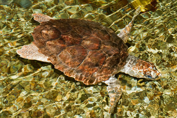 The Lab also has some endangered sea turtles.  This is a Loggerhead Turtle, the most common nesting sea turtle species in the United States.  They spend most of their time out in the open ocean but the females return to the beach where they were hatched to lay their own eggs.  They only do this every two or three years.  Each female makes an average of four nests separated by two-week intervals.  Each nest can contain 70-150 eggs that are about the size and shape of a ping pong ball.  Loggerheads can reach 3 ½ feet long and weigh up to 800 pounds.  This one is still relatively small (about a foot long).  This loggerhead was raised from an egg and will soon be big enough to be released into the wild.