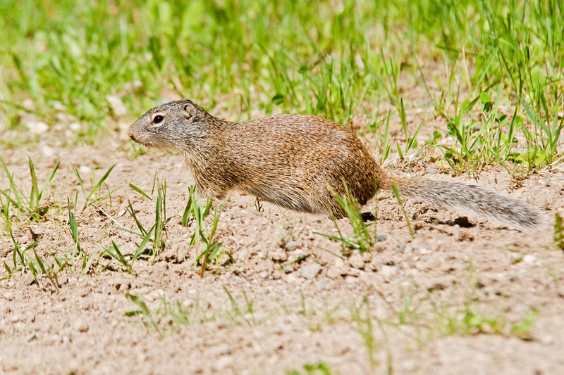 I found this Franklin's Ground Squirrel at Scenic State Park in northern Minnesota.  It makes its home in an underground burrow that can be up to 20 feet long.  This squirrel is a true hibernator and often has a chamber in its burrow that is below the frost line.  It can be hard to spot because it lives in brushier areas than our other two common squirrels (Red Squirrel and Gray Squirrel).