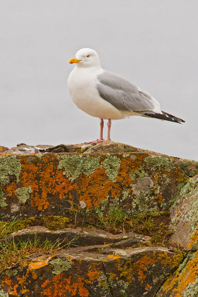 Herring Gulls are common in Minnesota along the North Shore of Lake Superior.  I was in Grand Marais and was fortunate to find this one standing on a rock that was covered with very colorful lichens.