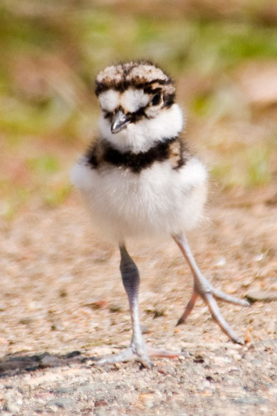 Following up on Shawn's comment (below) and my response, I've added this photo showing how large the feet of this baby Killdeer are.  It's kind of like a gangly teenager - all legs and feet!