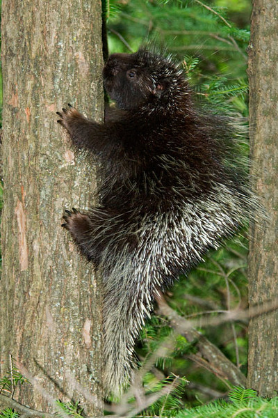 One evening Diana and I were eating dinner on our porch when this Porcupine ambled into our yard.  As this one demonstrated, Porcupines are good climbers.  In winter they are often seen high in a tree where they feed on the inner bark of the tree.