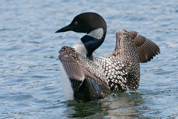 Here's one of the Loons stretching its wings.