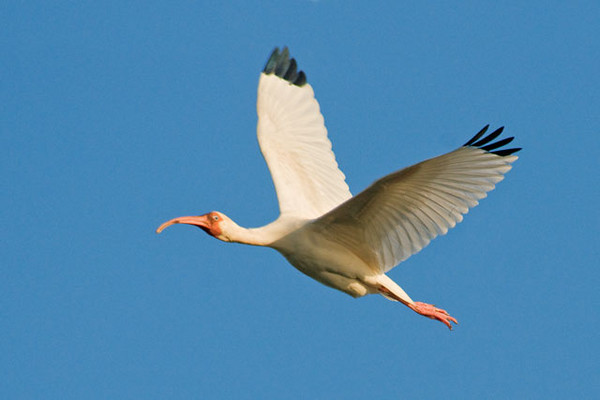 This White Ibis flew over and gave us some practice taking flight shots.  In the United States, White Ibis are found only along the Atlantic and Gulf coasts.  The long, curved, pink bill is distinctive.  An ibis sweeps its bill back and forth in the water as it is foraging for food.  Note the black wingtips which are usually hidden when the bird is on the ground.