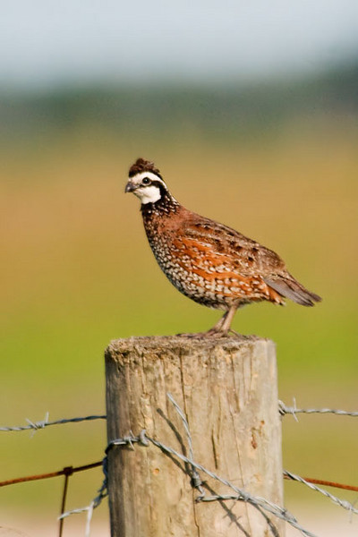 "The Northern Bobwhite is often heard before it is seen.  It seems to say its own name as it whistles bob-WHITE (the last syllable is higher and louder than the first).  It's fairly small for a game bird, only 9-10"" long.  In fall and winter, Bobwhites live in coveys of about a dozen birds.  At night they gather in a circle and roost on the ground, with their tails in the center of the circle and their heads facing out."