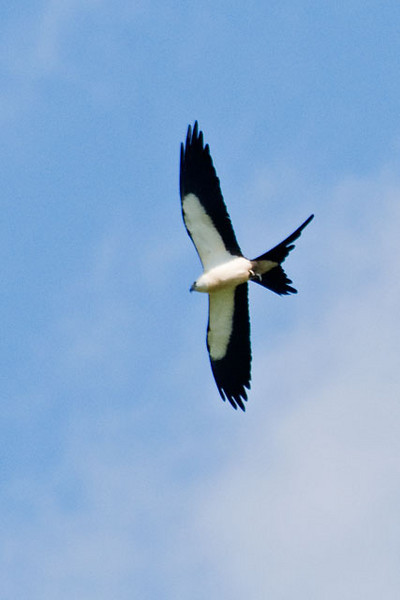 Swallow-tailed Kites are very graceful and acrobatic in flight.  They're quite large, about the size of a Red-tailed Hawk.  During the summer, they are found in the far southeastern United States.  During spring and fall migration, some have been known to wander north and we have even seen a few of them in Minnesota.  They spend the winter in the tropics.  Able to catch and eat their food on the wing, Kites eat a lot of large insects.  They also nab lizards and small birds right out of the tops of trees.