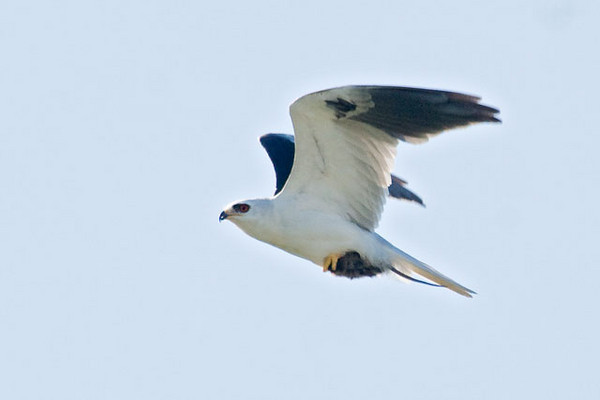 We were surprised to see this White-tailed Kite because they are uncommon in Florida.  Smaller than the Swallow-tailed Kite, they are also very graceful flyers.  They tend to hunt over open fields and often hover while searching for small rodents, their main food source.  This Kite dove into a field near us and when it flew back up I snapped a photo.  It appears to have been successful: you can see a small rodent in its talons.