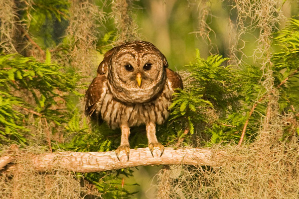 This Barred Owl looks like it is ready to take off.