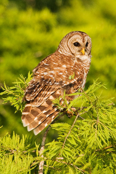 During my photography workshop in Florida we also had an opportunity to photograph some owls.  We found Barred Owls along the shore of the same lake where we found all the Ospreys.