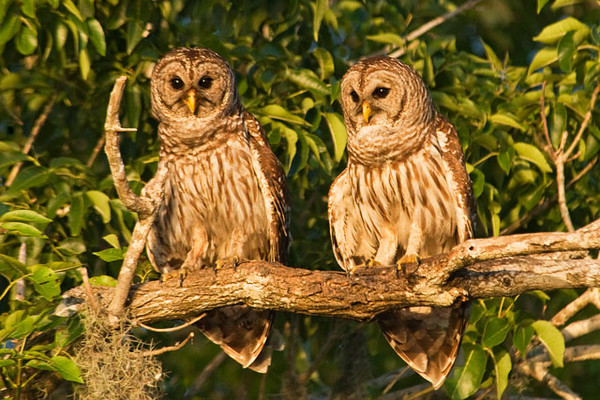 At one point we had a pair of Barred Owls perched together in a tree.