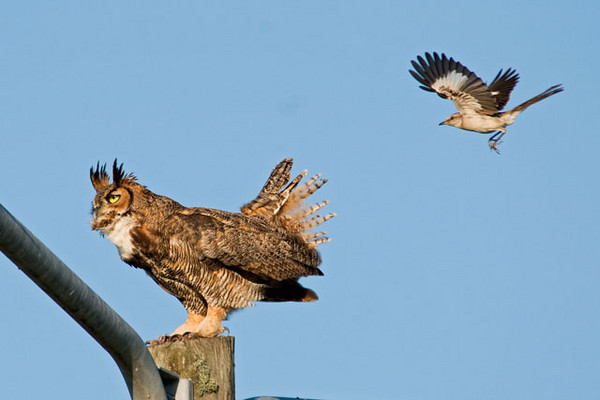 When the Great Horned Owl perched on top of the light poles, several Mockingbirds flew in and mobbed it.  They appeared to be actually making contact with the owl but it totally ignored them.