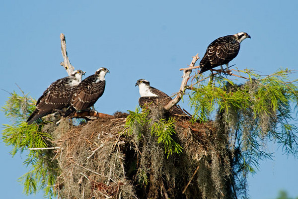 Ospreys build large nests, usually in the top of a tree or on a power pole.  These nests are reused and added to each year.  This is one of the larger nests that we saw.   The four juveniles sitting in the nest are almost fully grown so that gives you some perspective on the size of this nest.