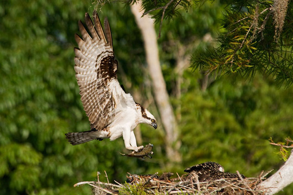 This adult Osprey is bringing a fish back to the nest.  The juveniles are just visible above the rim of the nest.