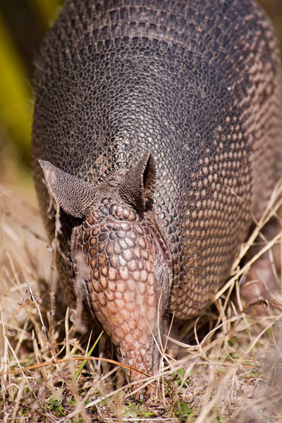 Here's a close-up of the Armadillo.  Contrary to popular belief, the nine-banded Armadillo cannot roll itself up into a ball.  It's most common defense is to run away.  It also has a tendency to jump straight up in the air when startled.  Unfortunately, that puts it right about bumper height and often results in it becoming road kill.  One interesting fact about Armadillos is they give birth to four identical young, all developing from the same egg.