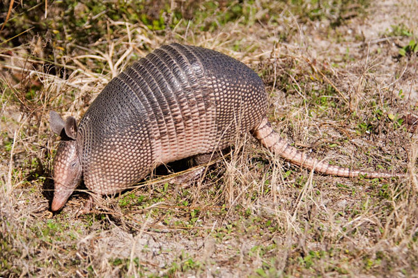 "During one of my visits to St. Mark's National Wildlife Refuge in Florida, I came across this Armadillo right alongside the road.  The full common name for this animal is the Nine-banded Armadillo.  They are protected by their leathery armored shell.  In fact, the word ""armadillo"" is Spanish for ""little armored one"".  They have long, strong claws which they use to dig for food and to dig burrows.  When they do this in someone's yard, it makes them very unpopular with the homeowner."