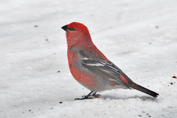 On the same trip, I explored some of the roads in the Grand Marais area.  This male Pine Grosbeak was picking up grit along the Gunflint Trail.
