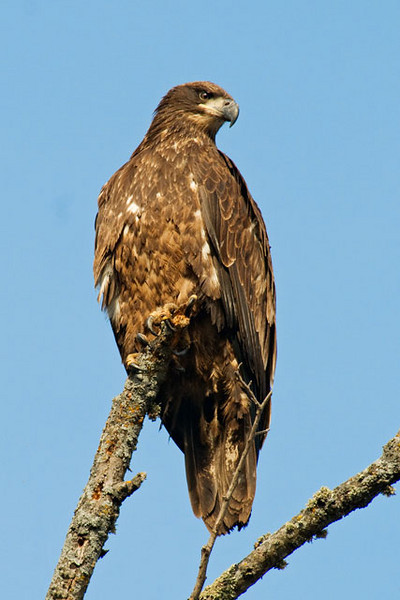 As I was getting near my friend's house, I found this juvenile Bald Eagle perched on a dead tree.  It totally ignored me as I took photos of it from my car.