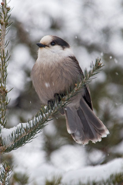 Gray Jays are common in northeastern Minnesota and I found this one on the Lima Mountain Road which branches off from the Gunflint Trail.