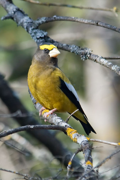 """According to Birds of North America, Henry Schoolcraft originally gave the Evening Grosbeak its name because he erroneously thought it only sang in the evening.  Its original Latin name was Fringilla vespertina, which means """"finch of the evening"""".  <br /> <br /> During the winter, they will leave their breeding territory if food is scarce.  This is called irruptive behavior.  They sometimes move long distances and have been recorded in all 48 of the lower United States."""