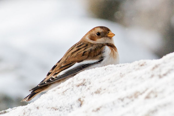 On a winter trip to Grand Marais, Minnesota, I found one Snow Bunting on the rocks by the bay.  This is the winter plumage of this species.