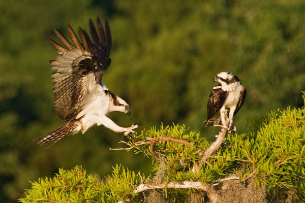 This Osprey is coming in for a landing next to its mate.