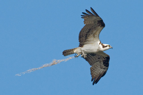 Even though nesting season is coming to an end, Ospreys keep adding material to their nests.  This one is carrying some Spanish moss.