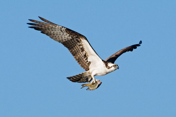 Ospreys are mainly fish eaters.  We didn't see them actually catching the fish but we did see many of them bringing fish back to their nests.